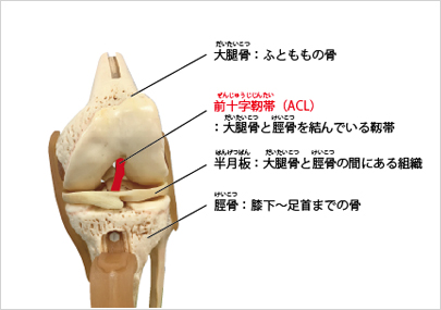 膝関節と靱帯